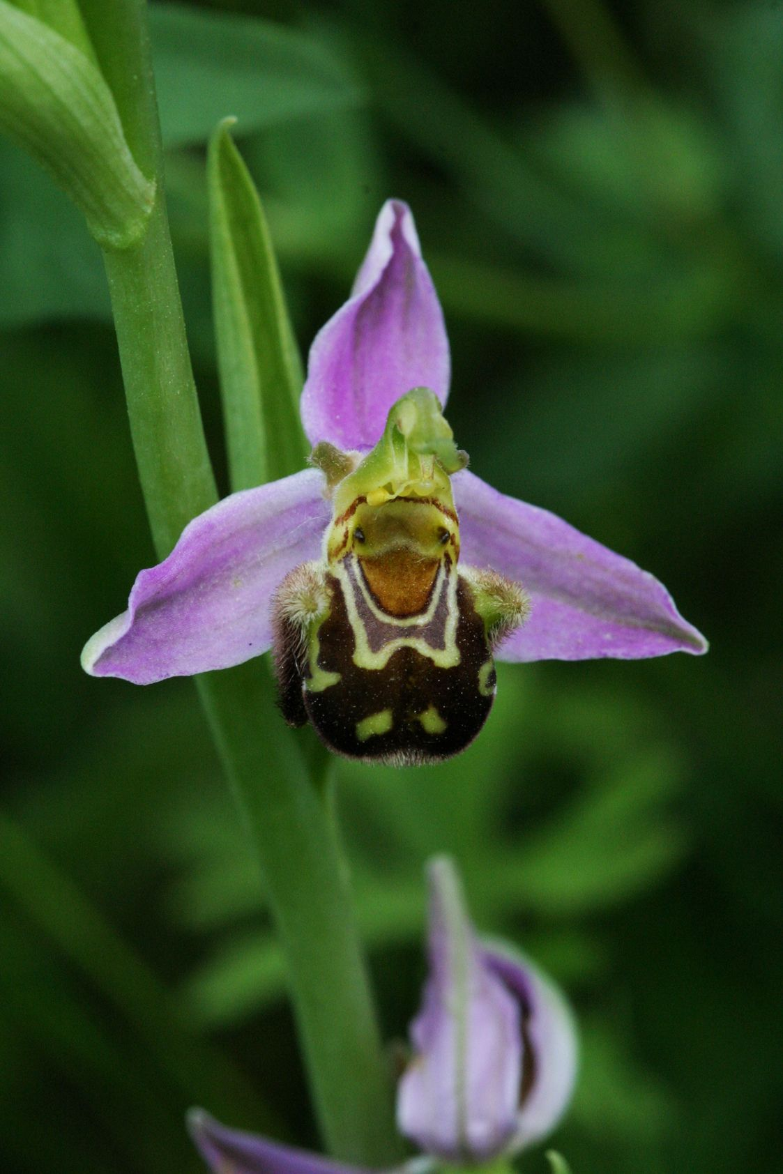 Rare flowers ophrys apifera or bee orchid the most widespread very rare and beautiful flower in the world in a rich moonlit garden flowers open beneath the eyes of entire nations terrified dhlflorist Images