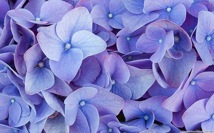Photo Contest High Country Gardens Hydrangea Wallpaper Violet Flower Hydrangea Purple