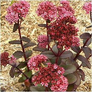 A Stonecrop With Dark Pink Tint Purple Bronze Leaves