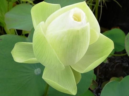 The amazon flowers facts about lotus flowers socyberty amazing the amazon flowers facts about lotus flowers socyberty mightylinksfo