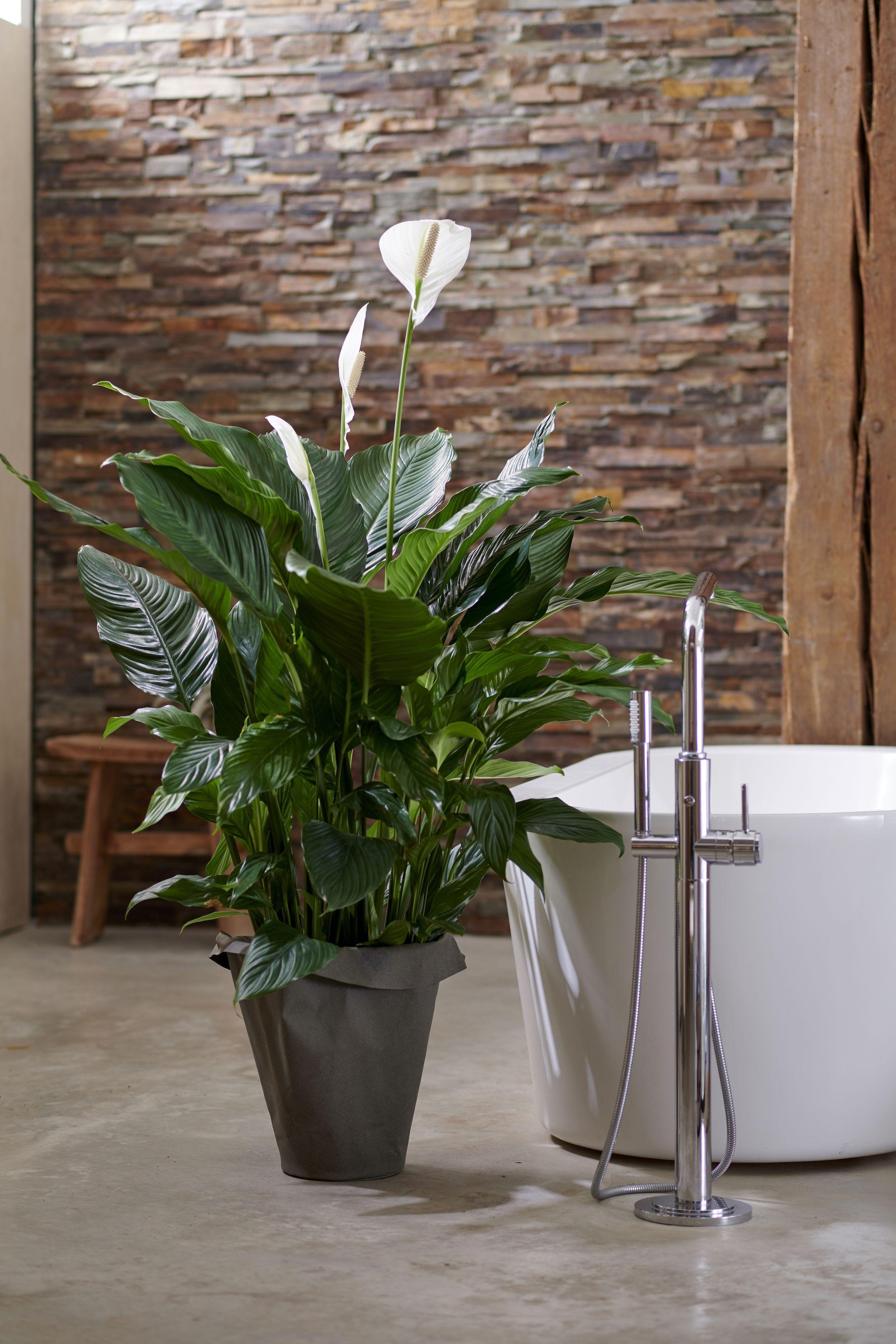 Badezimmerpflanzen Fur Den Mai Badezimmerpflanzen Pflanzen Im Badezimmer Balkon Pflanzen Pflegeleicht