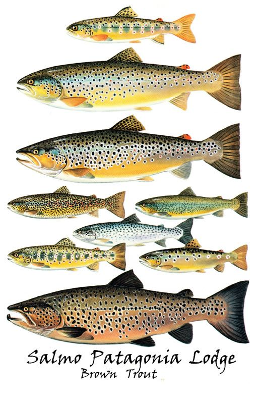 Brown Trout For More Fly Fishing Info Follow And