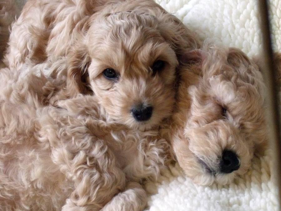 Aww So Cute Teddy Bear Dog Cute Animals Cockapoo Puppies