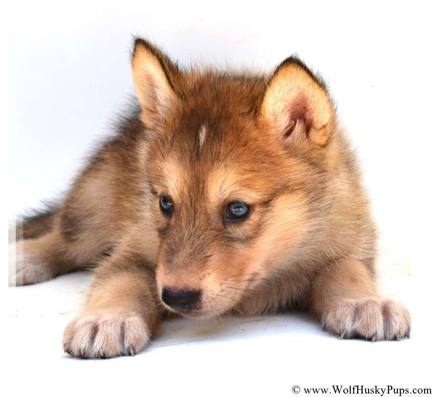 Pin On Wolf Husky Hybrid Pups