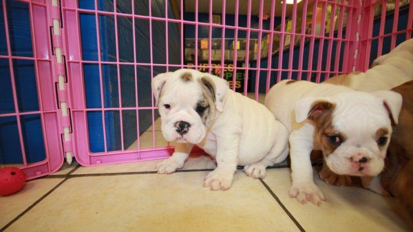 English Bulldog Puppies For Sale In Atlanta Georgia Ga English