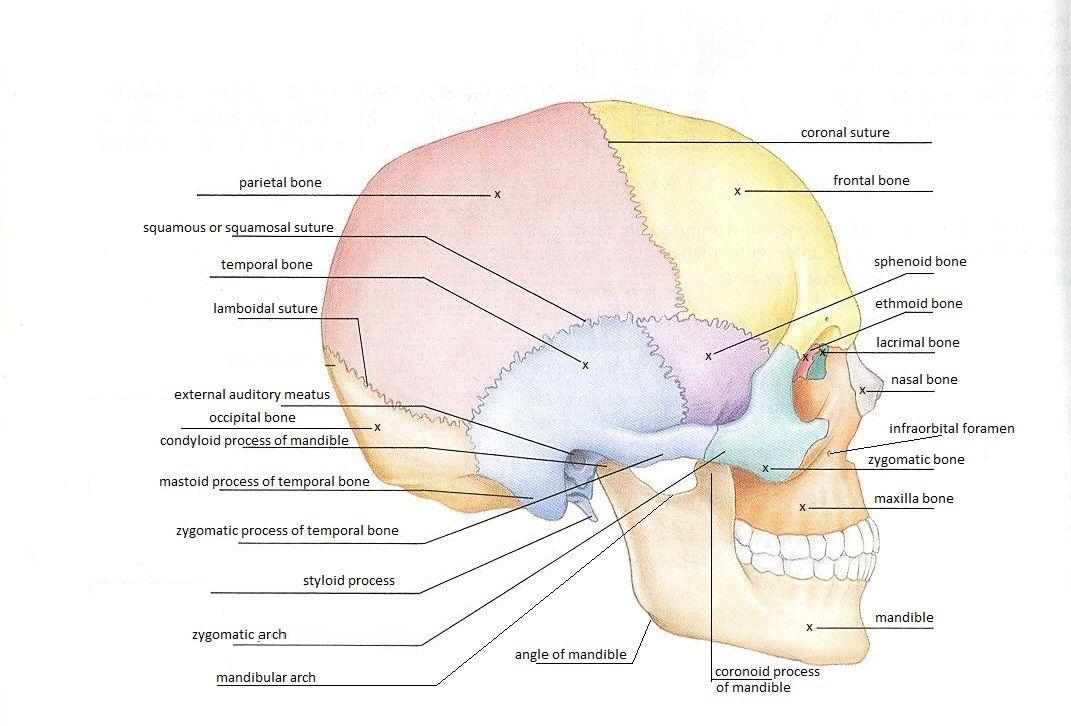 Skeletal System Diagrams | Skeletons | Pinterest