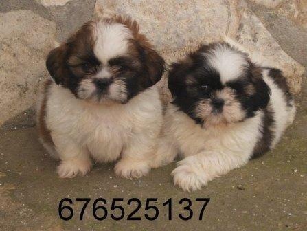Tiernos y preciosos cachorritos de Shih Tzu.