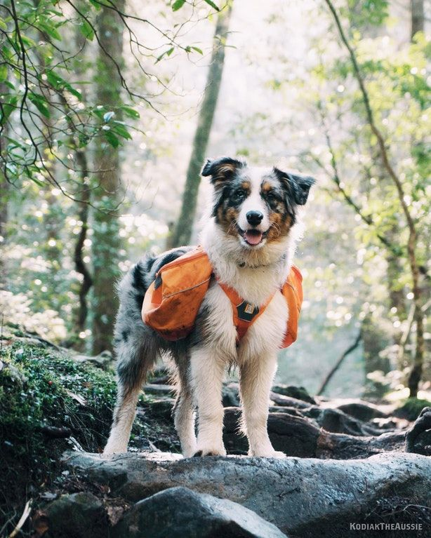 Australian Shepherd Puppy Hiking Via Onreact Australian Shepherd