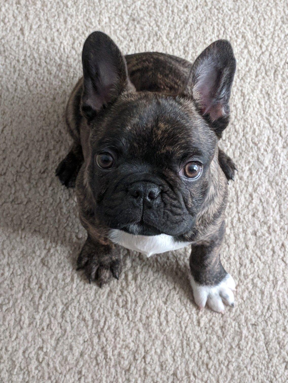 Brindle French Bulldog Puppy Brindle French Bulldog Cute