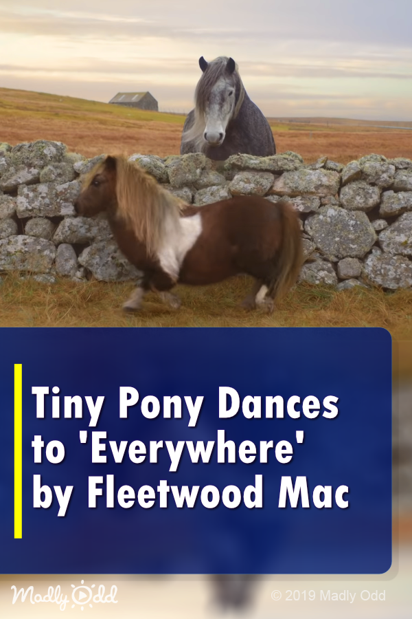 Tiny Pony Dances To Everywhere By Fleetwood Mac Pony Horses Miniaturehorses Horse Animals Cute F Cute Animal Videos Funny Animal Videos Cuddly Animals