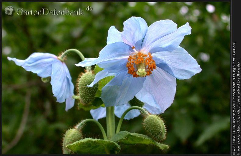 Gevonden Trouve Blauer Mohn Ziestblattriger Scheinmohn Tibet Scheinmohn Meconopsis Betonicifolia Blutenstand Mit Blauen Bluten Un Blauer Mohn Mohn Bilder