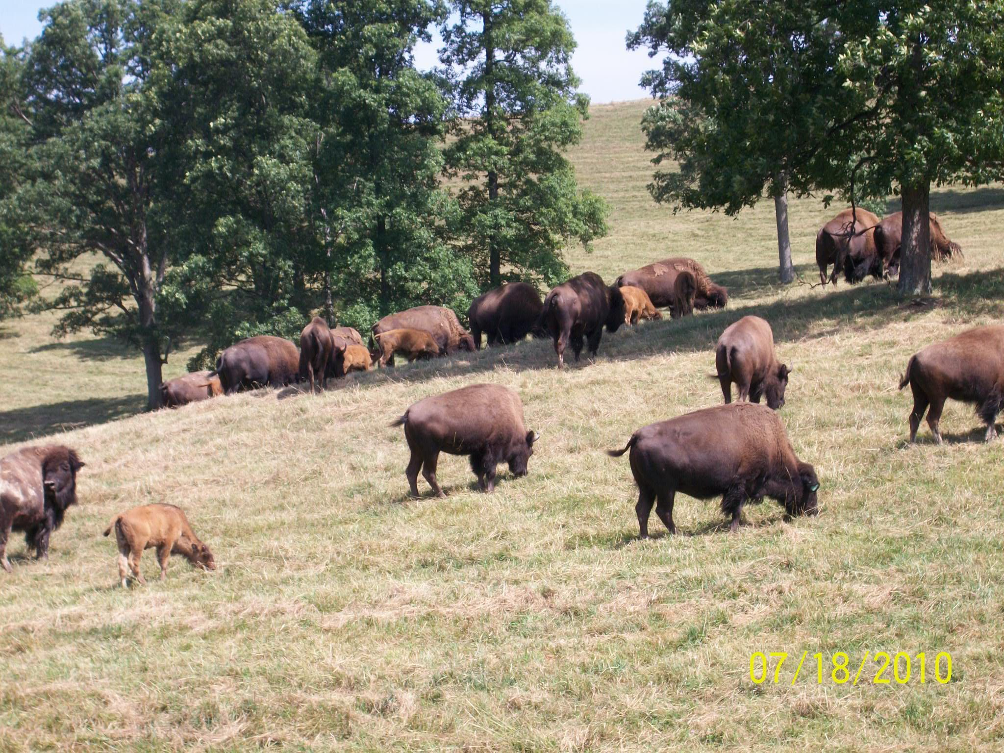 Hillside Farms, Cowpath Road, Telford, PA American Bison