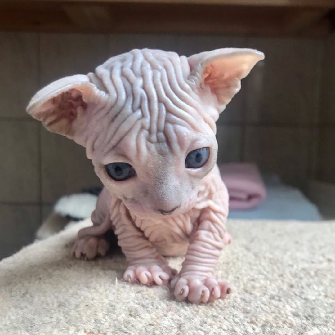 Mah Wee Wrinkles Got Wrinkles Aww Cute Hairless Cat Baby Hairless Cat Kittens