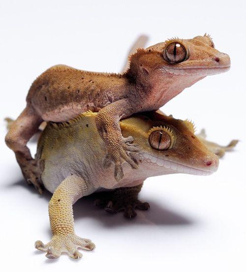 Crested Geckos   Geckos   Pinterest   Animales exóticos, Salamandras ...