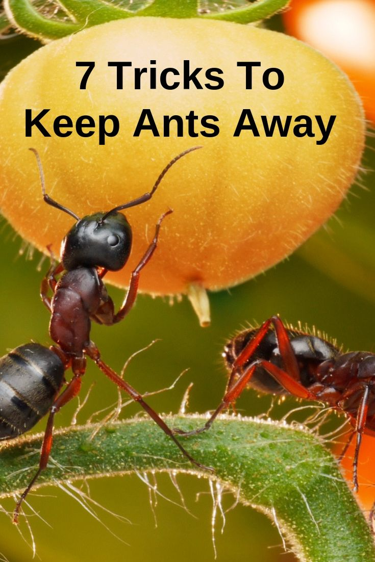7 Tricks To Keep Ants Away Gardening Know How S Blog Ants Plants That Repel Ants Epsom Salt For Plants