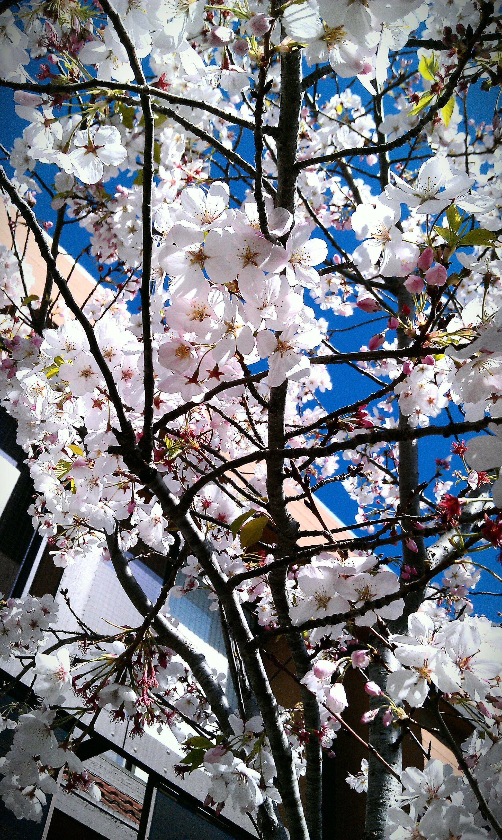 The Cherry Blossoms Of Nihonmachi Japantown San Francisco Ca San Francisco Neighborhoods Japantown San Francisco San Francisco Bay Area