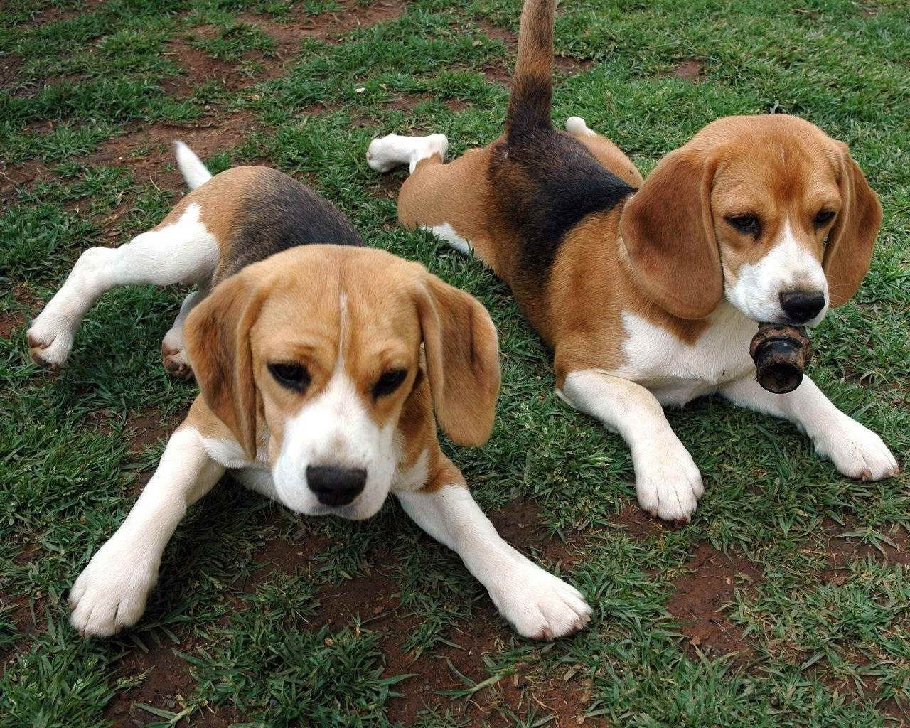 American Foxhound Beagle Mix Beagle Mix Puppies Foxhound Puppy