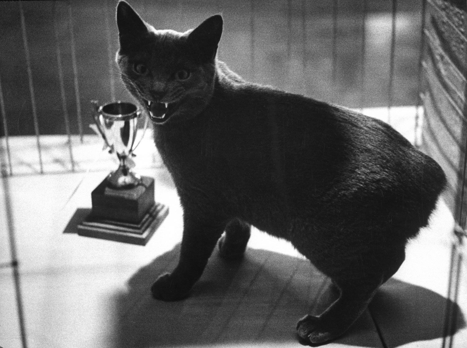 LIFE Goes to a Cat Show, 1952 Cats, Cats and