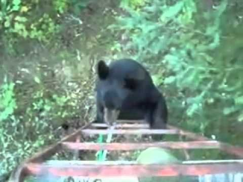 Black Bear Climbs Ladder And See What Happens Next Funny Animal Videos Cute Funny