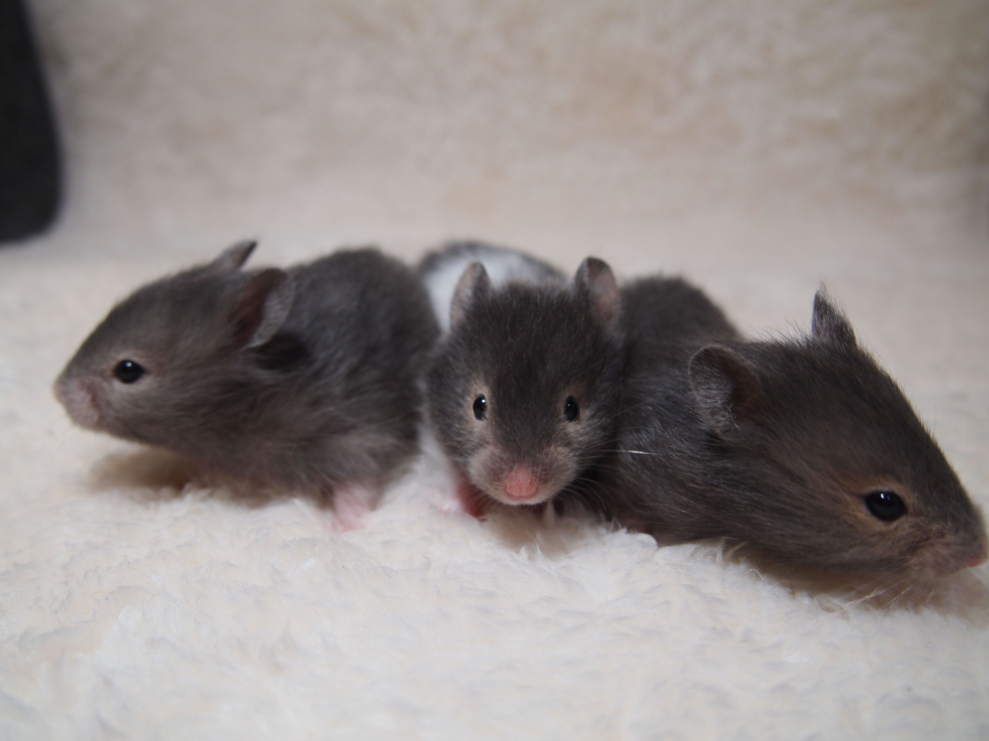 Syrian Hamster Silver Sable Sable Band Sable 23days Syrian