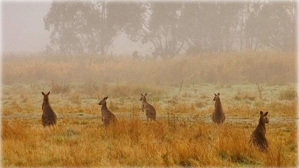 Eastern grey kangaroos in Australias Kosciuszko National