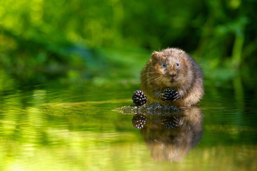 tiny thief by Mark Bridger. A wild water vole w/blackberries.