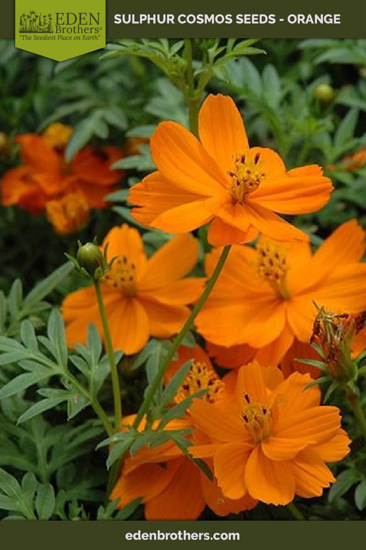 Sulphur Cosmos Orange Seeds Cosmos Flowers Orange Plant Red Plants