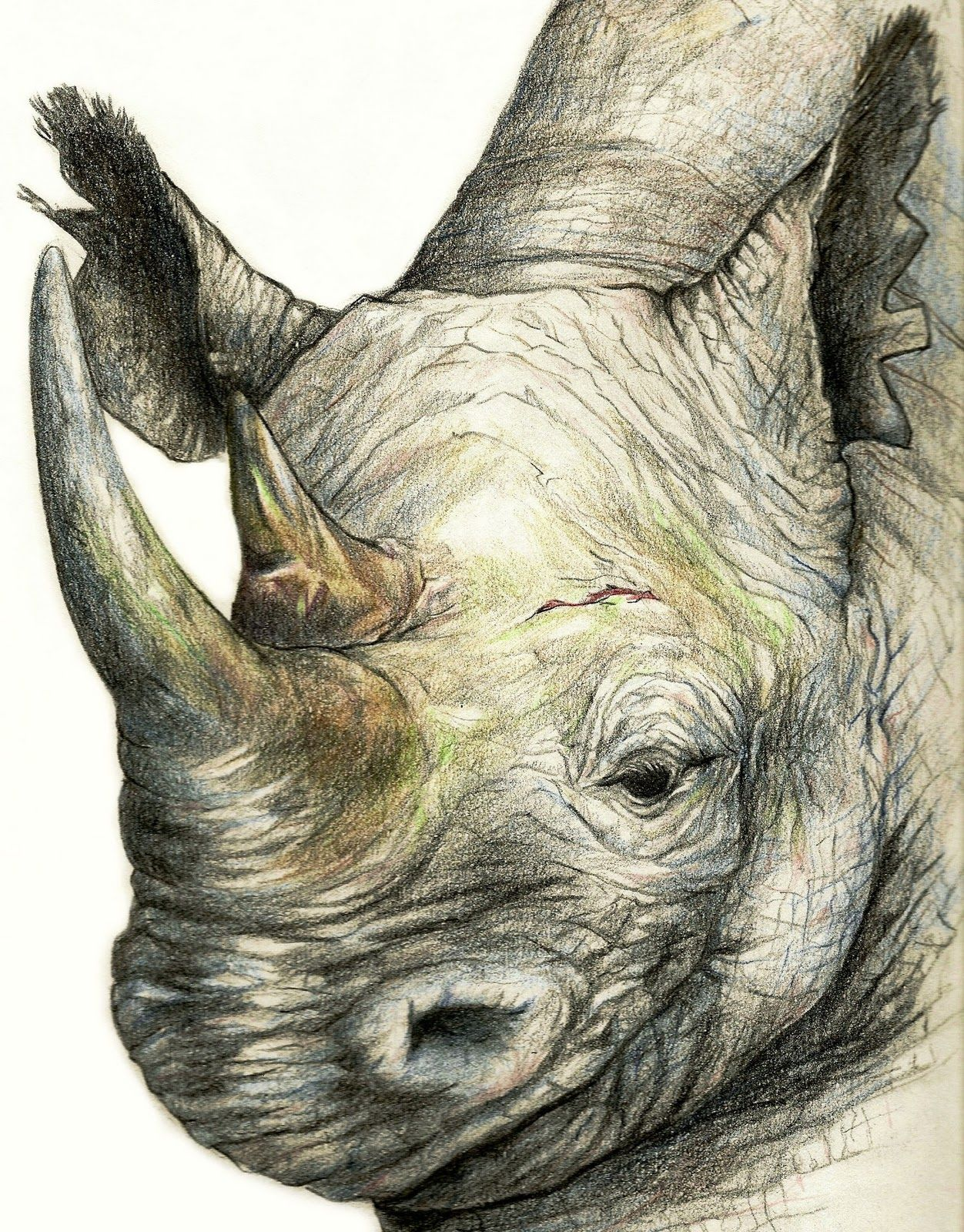 One of my first wild animal color pencil drawings drawing and