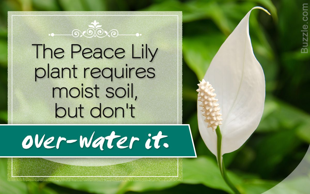 Quick DIY Tips to Care for the Peace Lily Plant