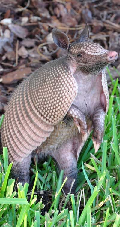 how to keep armadillos out of yard