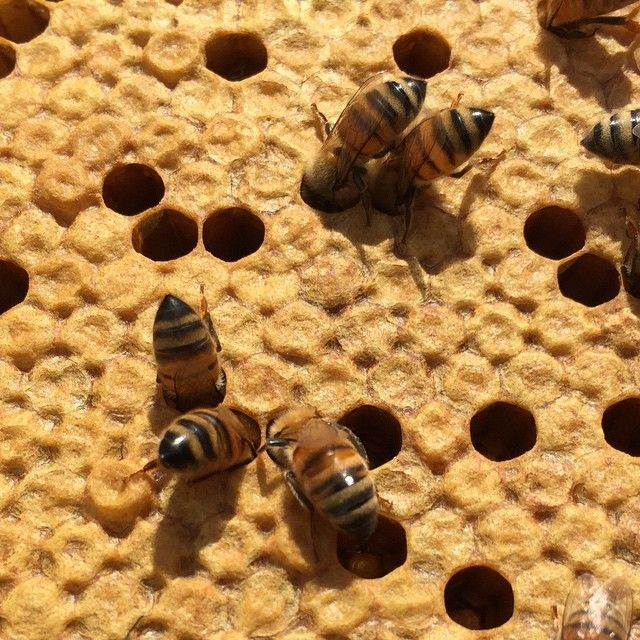 Hee hee. I love it when bees poke their heads into the cells!