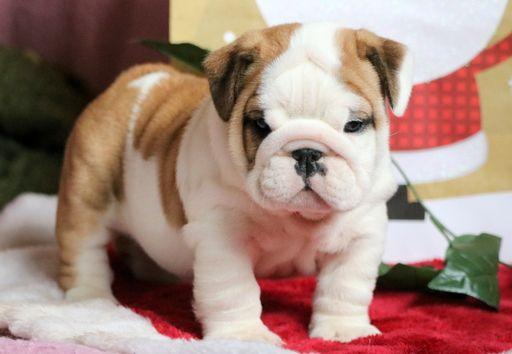 Bulldog Puppy For Sale In Mount Joy Pa Adn 55362 On Puppyfinder