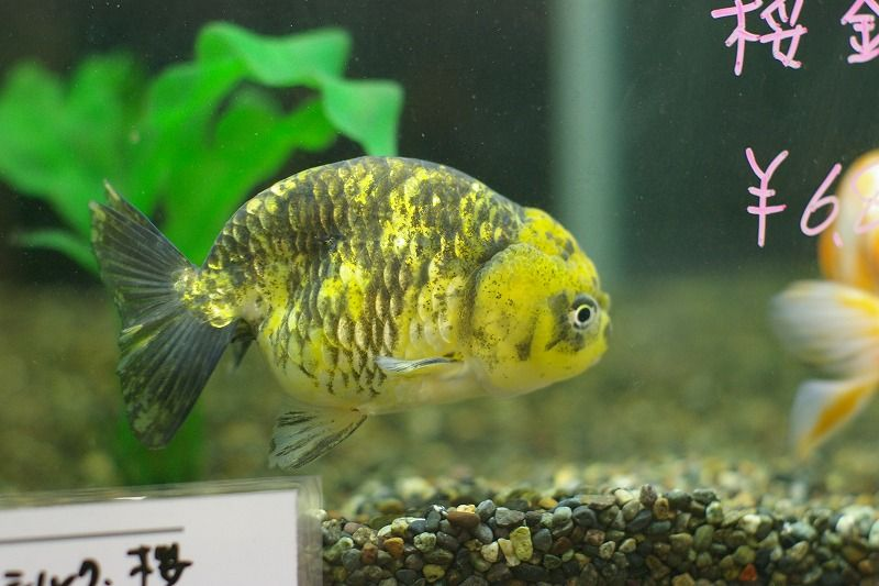Yellow ranchu goldfish awwwww water babies for Yellow fish tank water