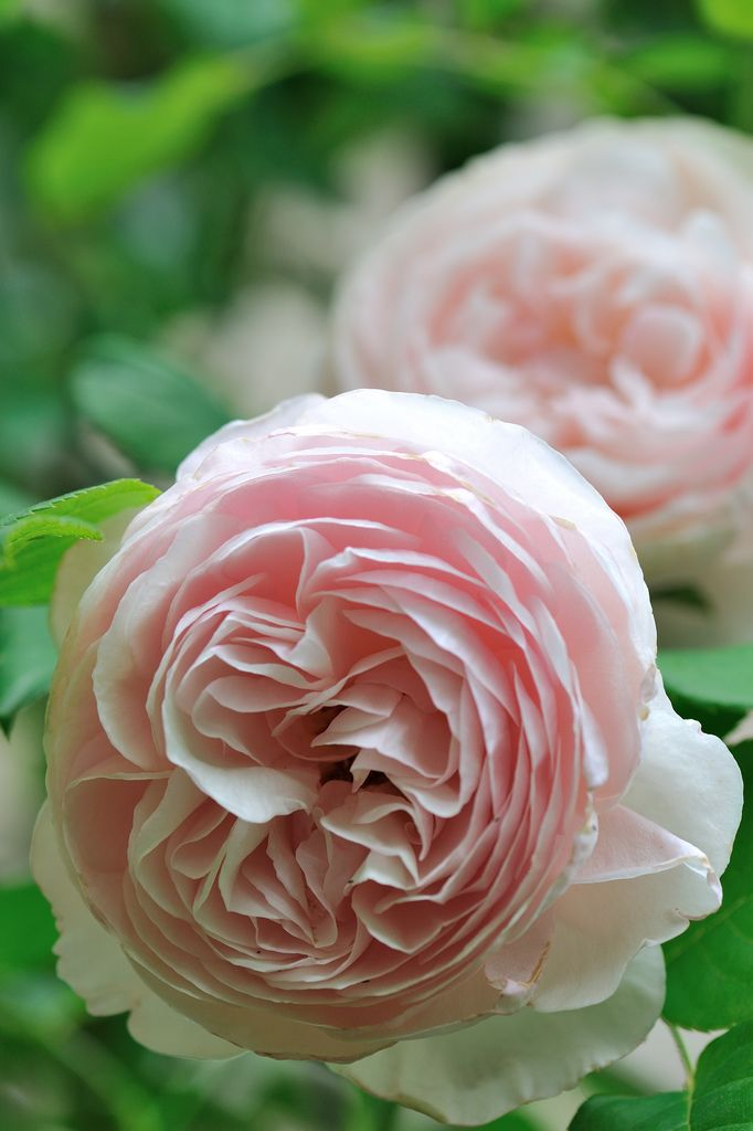 ~David Austin 'Heritage' rose bushes which flourish in the Highlands. (Love that note! Now I want to go smell the roses in Scotland.....)
