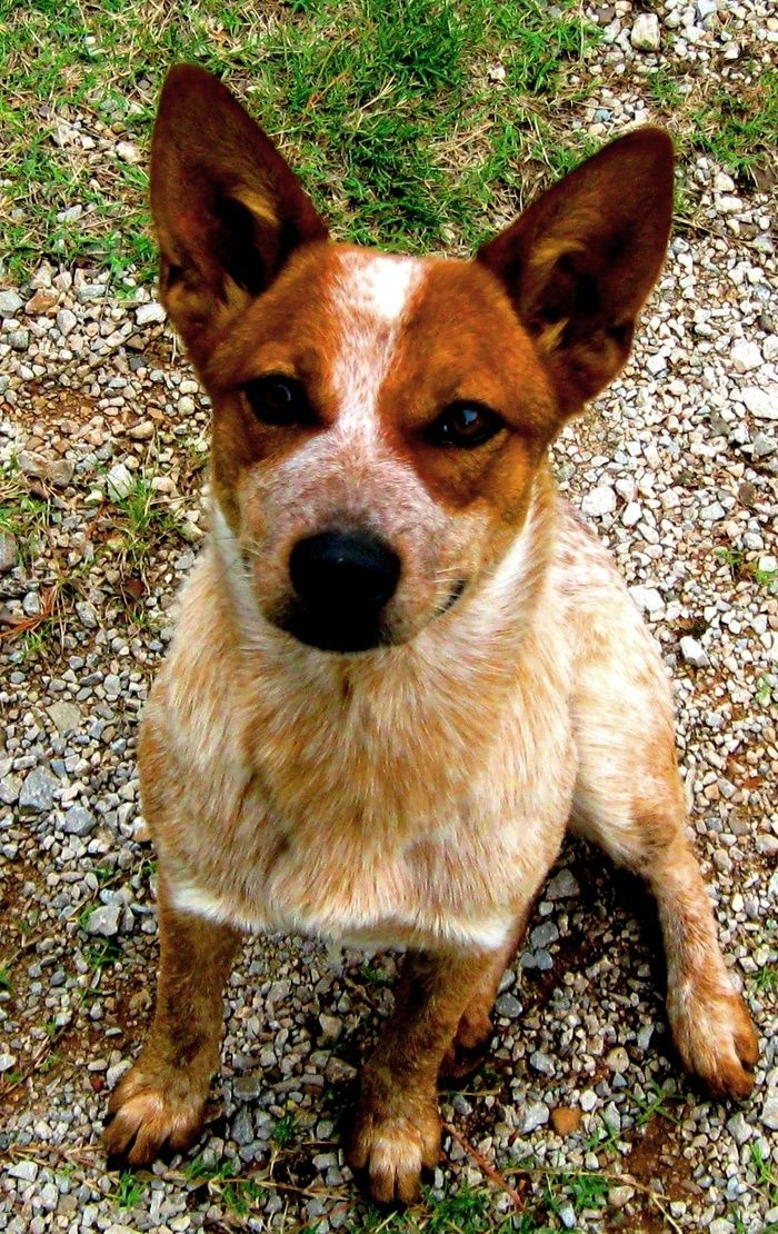 Australian Cattle Dog Red Heeler Art Print By Nathanael Fisher Australian Cattle Dog Red Aussie Cattle Dog Blue Heeler Dogs