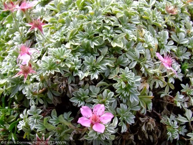 potentilla nitida garden plants pinterest pflanzen. Black Bedroom Furniture Sets. Home Design Ideas