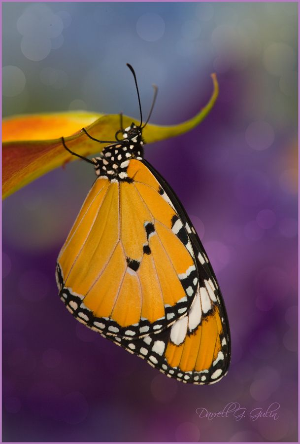 Danaus chrysippus Butterfly on Calla Lily, Photography by:  Darrell Gulin