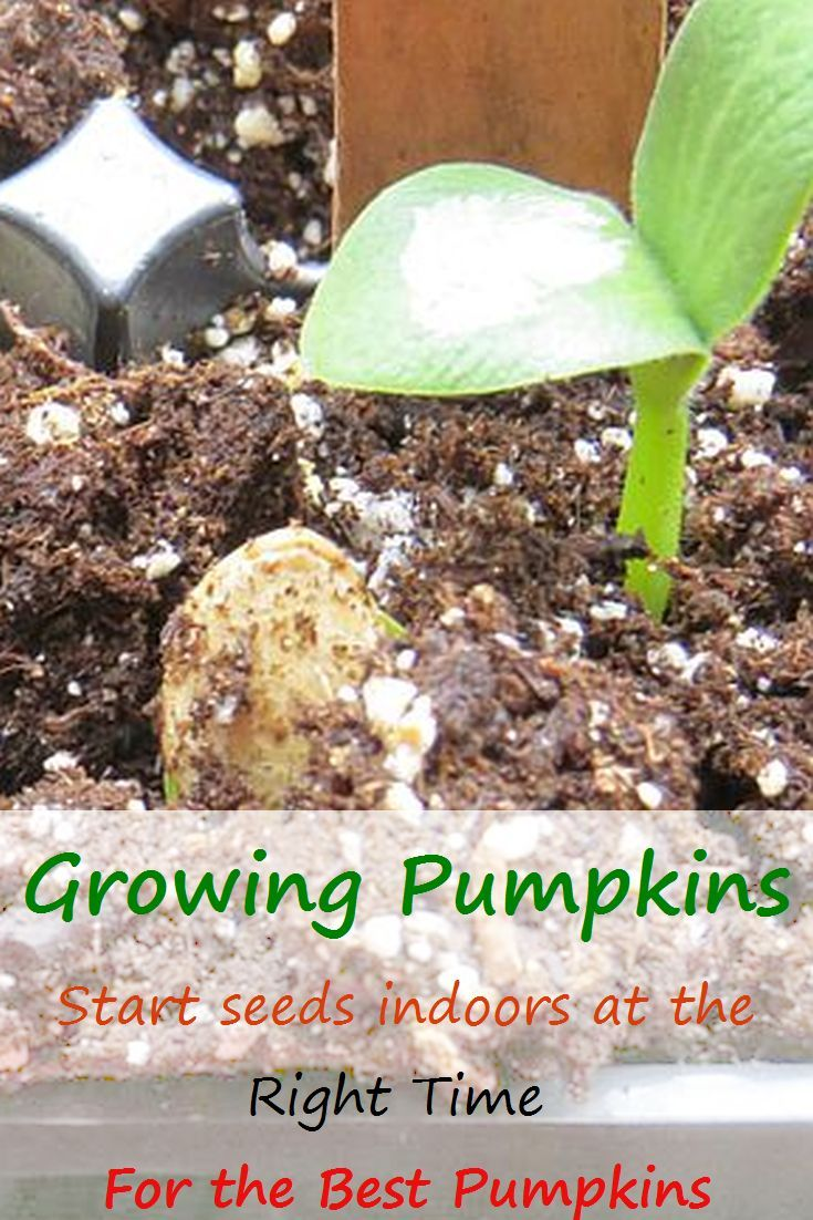Starting Pumpkins And Squash Early In Short Growing Seasons Growing Pumpkins Planting Pumpkin Seeds Planting Pumpkins