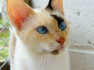 calico siamese mix - Bing Images | Things I love | Siamese