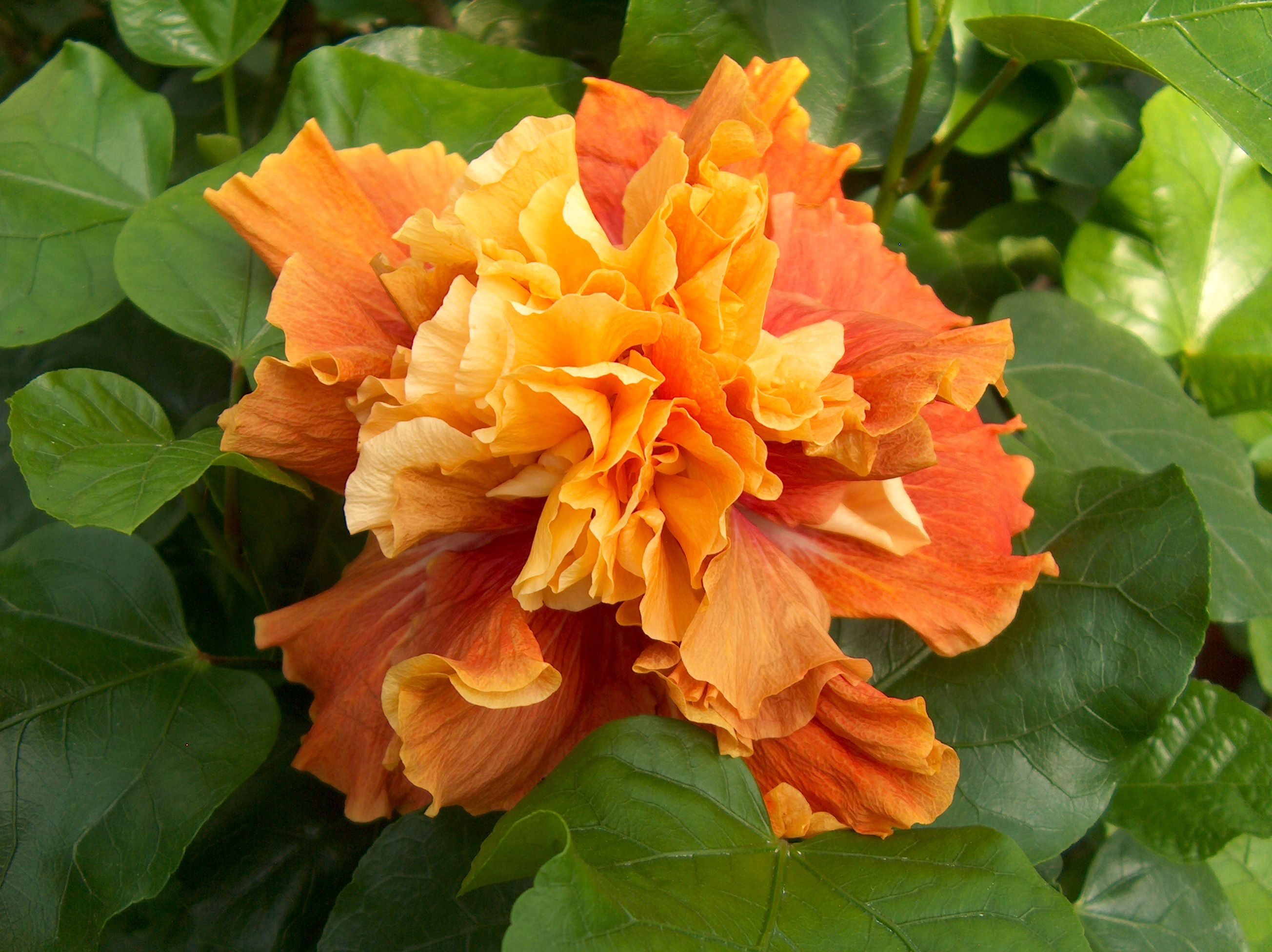 Hibiscus rosa sinensis double orange garden gala day 2016 this double orange flowering perennial shrub is commonly grown as an annual for colorful flowers in summer and fall izmirmasajfo Image collections