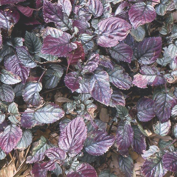 Red Flame Ivy Hemigraphis Alternata My Garden Insider Ivy