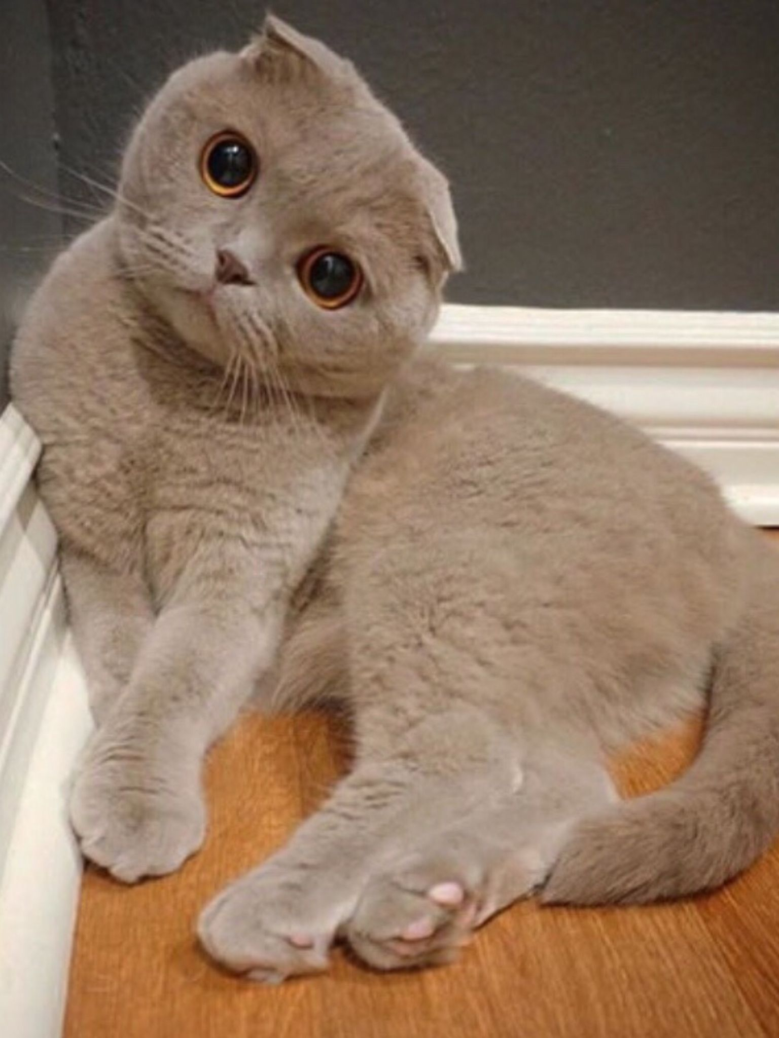 Scottish Fold So Cute Cat Scottish Fold Scottish Fold Kittens Cats And Kittens