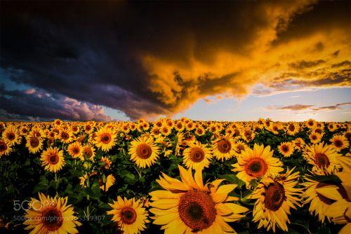 Socialfoto Matahari Bunga Matahari Bunga