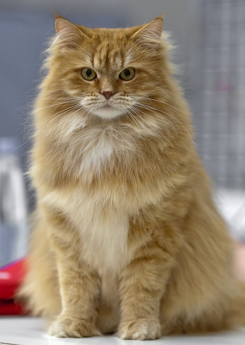 Siberian cat © Heikki Siltala Cats Pinterest