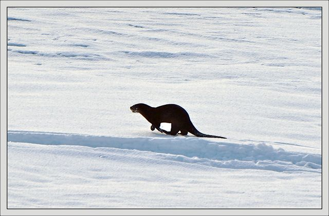 Otter by abbenquesnel, via Flickr
