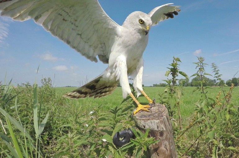 Het mannetje steppekiekendief landt op een paaltje