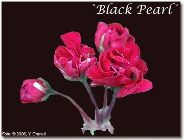 Got this one: Black Pearl. From Minas mother.