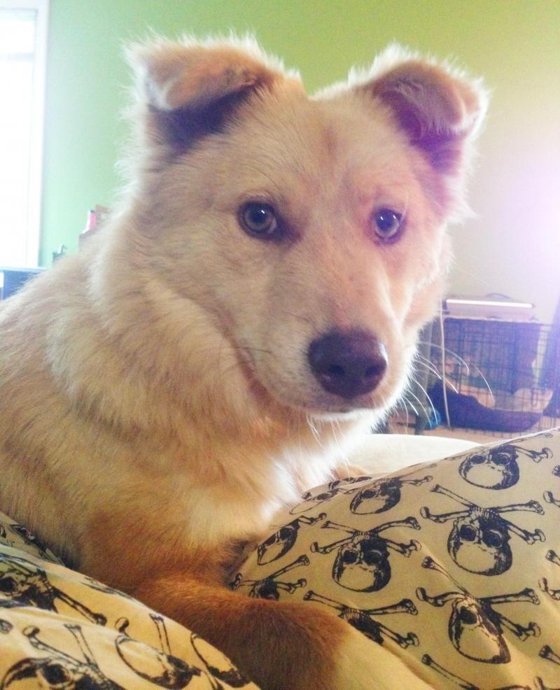 Adopt lizzy on border collie husky mix paws rescue