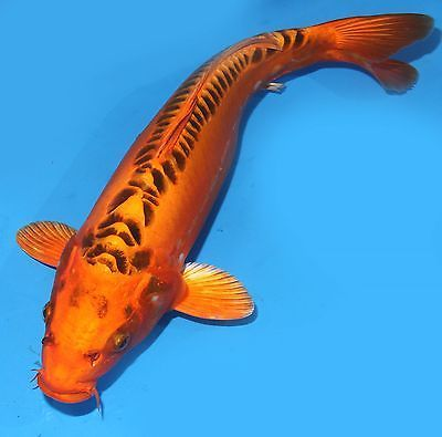Live koi fish 13 14 doitsu scaleless yellow kin matsuba for Kin matsuba koi