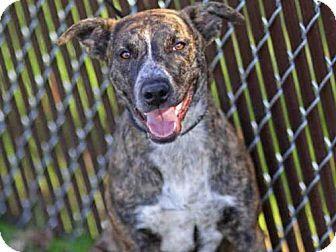 Tallahassee Fl Plott Hound Mix Meet Tessa A Dog For Adoption Http Www Adoptapet Com Pet